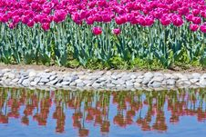 Free Tulip Flowerbed In The Pond Stock Photos - 19370923