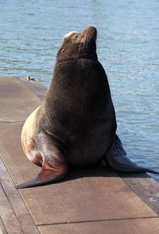 Free A Male Sea-lion. Stock Photography - 19371792