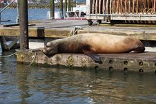 Free Sea-lions Basking At A Marina In Astoria Oregon. Royalty Free Stock Image - 19371816