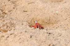 Free Fiddler Crab Royalty Free Stock Image - 19371976