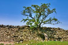 Free Tree Growing On A Dry Stone Wall Stock Photo - 19373480