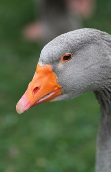 Free Grey Duck Stock Image - 19373661
