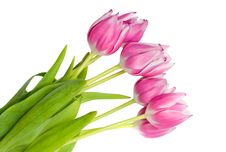 Free Bouquet Of Pink Tulips Stock Photography - 19374352