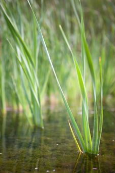 Free Reeds Growing In A Shallow River Royalty Free Stock Photos - 19375228