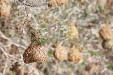 Free Weaver Nests Hanging Off Of Thorn Branches Royalty Free Stock Images - 19375239
