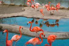 Free American Flamingoes Royalty Free Stock Photography - 19375867