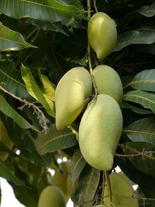 Free Mango Tree Stock Photos - 19376373