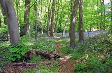 Free Blue Bell Woods, Cawston, Warwickshire, England Royalty Free Stock Photography - 19377647