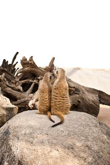 Free Meerkat In The Park. Stock Images - 19377994