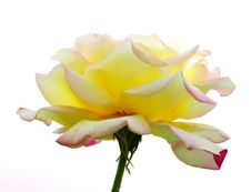 Free Yellow Rose Royalty Free Stock Images - 19378059