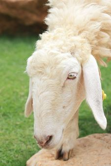 Free Sheep Royalty Free Stock Images - 19378159