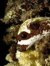 Free Masked Puffer Stock Image - 19387021