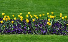 Free Yellow Tulips Stock Photos - 19380113