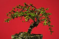 Free Bonsai Tree Stock Photography - 19380252