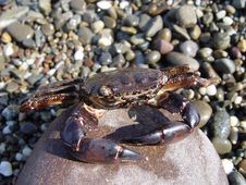 Free Crab On A Rock Stock Photos - 19380423