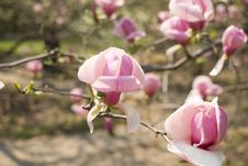 Pink Magnolia In Bloom Stock Photo