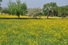 Free Meadow With Many Dandelions And Apple Trees Royalty Free Stock Image - 19386696