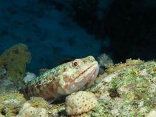 Free Lizardfish Stock Images - 19386754