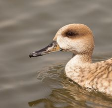 Free Portrait Of A Marbled Duck Stock Photos - 19386973