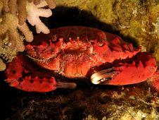 Free Splendid Spooner Coral Crab Stock Photos - 19387113