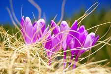 Free Blossoming Crocuses Stock Photos - 19387133