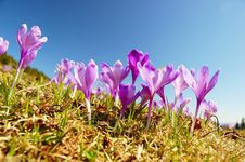 Free Blossoming Crocuses Stock Images - 19387144