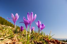 Free Blossoming Crocuses Royalty Free Stock Images - 19387149
