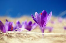 Free Blossoming Crocuses Royalty Free Stock Photography - 19387157
