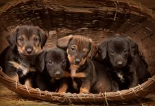 Free Dachshund Puppies 3 Weeks Old Stock Photography - 19387792