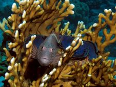 Free Freckled Hawkfish Stock Photography - 19388032