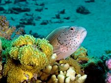 Freckled Hawkfish Stock Photo