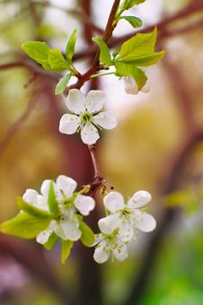 Young Blossoms In Spring
