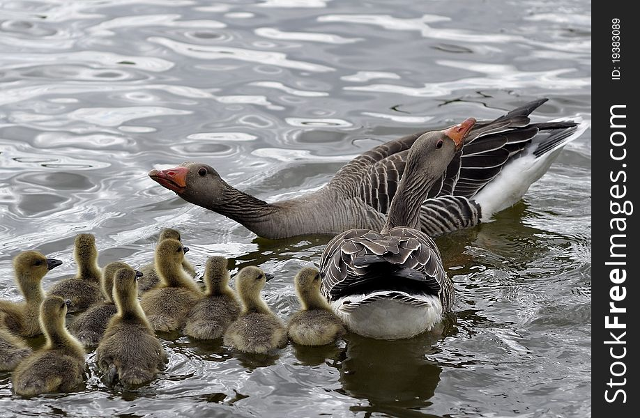 Goose whit goslings