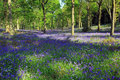 Free Blue Bell Woods, Badby, Northamptonshire, England Royalty Free Stock Images - 19390369