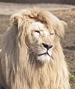 Free Large Male White Lion Stock Images - 19392024