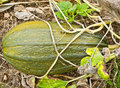 Free Pumpkin Patch Close Up Stock Photos - 19394903