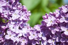 Free Beautiful Lilac Flower Background Stock Photos - 19391073