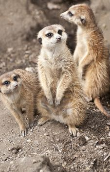 Free Meerkat Royalty Free Stock Images - 19391699