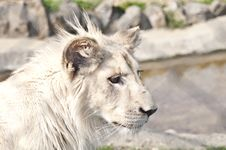 Free White Lion Puppy Royalty Free Stock Photos - 19391958