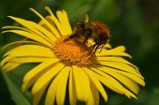 Free Bumblebee And His Proboscis Stock Image - 19392471