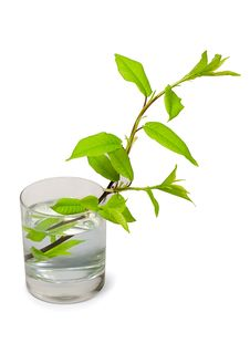 Free Tree Branch In Glass Of Water Stock Photos - 19392623
