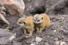 Free Baby Meerkats (Suricata Suricatta) Stock Photos - 19392633