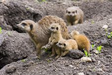 Free Meerkat Family (Suricata Suricatta) Stock Photos - 19392683