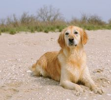 Free Golden Retriever On The Beach Stock Image - 19393271