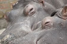 Free Hippo Couple Sleeping Stock Images - 19393404