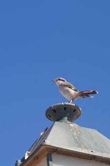 Southern Grey Shrike Stock Images