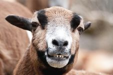 Free Laughing Goat Portrait Stock Photos - 19393433