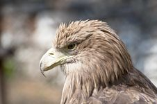 Free Eagle Portrait Stock Photos - 19393603
