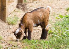 Free Goat Stock Photo - 19394120