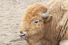 Free Bison Stock Image - 19394191